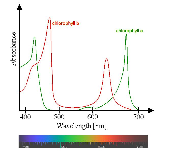 Spectre d'absorbtion de la chlorophyle - From Wikimedia