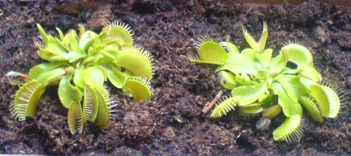 Mes dionaea - Creative common by Ozwald from ozwald.fr