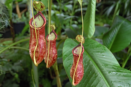 "Nepenthes - Creative Common by ""Eric in FS"" on Flickr"